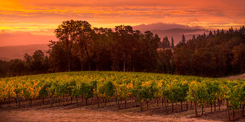 Beautiful sunset over rolling vineyard in Willamette Valley.